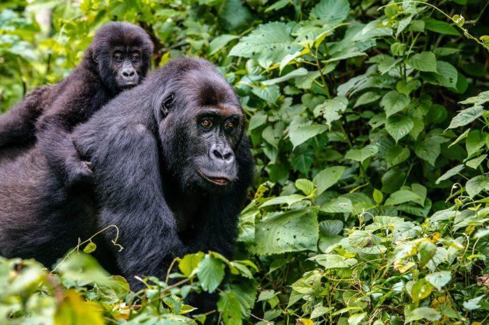 4-Day Lowland Gorilla Trekking in Congo