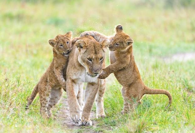 Animales en Video cachorros leon jugando - Top Safari Tours Deals you Cannot Miss this 2021